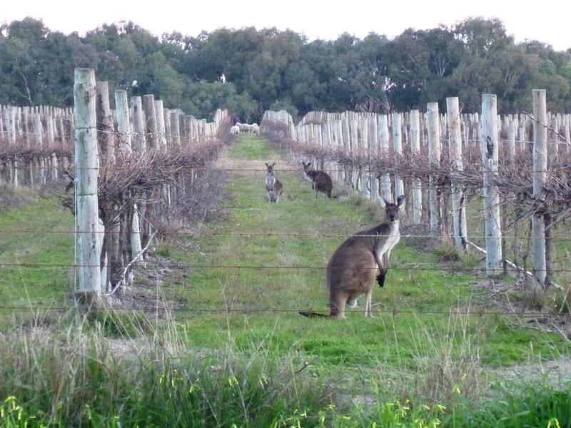 ROOS & SHEEP IN VINEYARD, CURRENCY CREEK