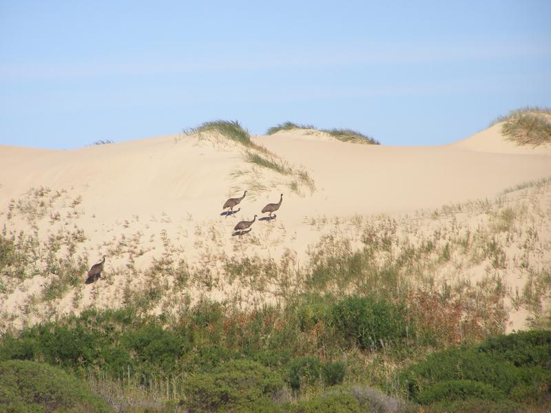 Emus on teh Coorong dunes
