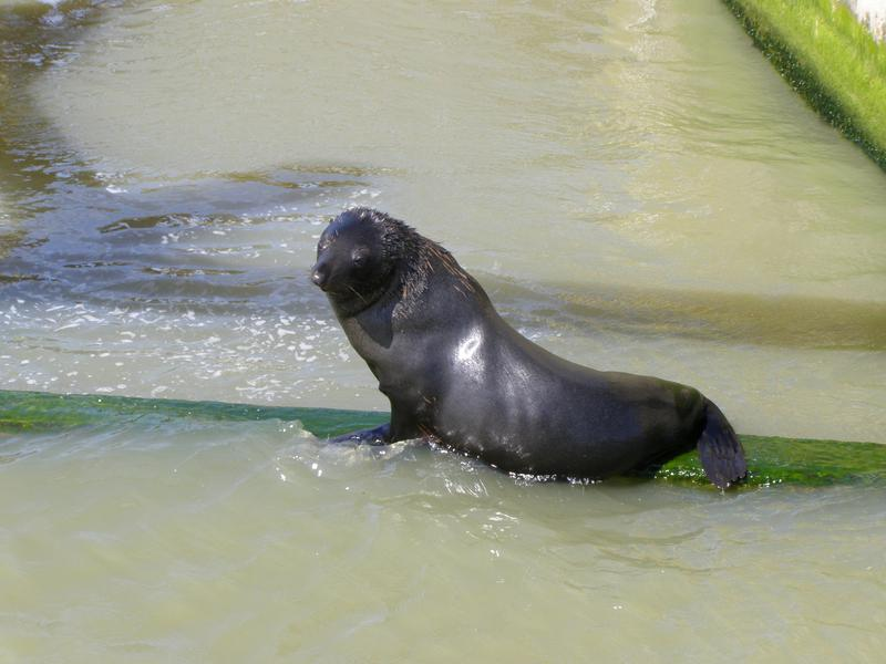 NZ fur seal on the Goolwa Barrage