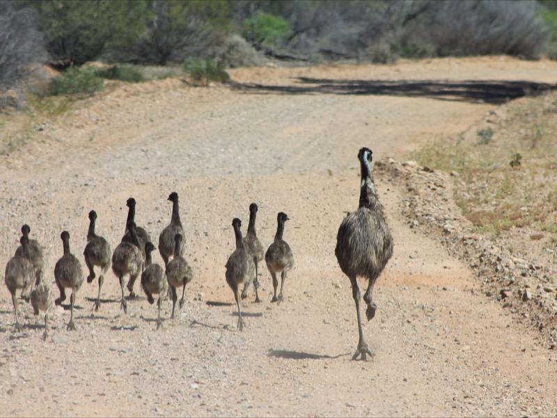 Emu family in the Flinders Ranges